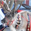 A reindeer with bells on.